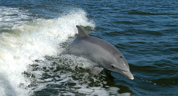 Panamanian dolphin remains are missing link in time