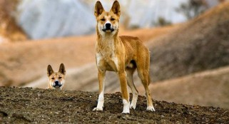 Climate change made dogs better hunters, study shows