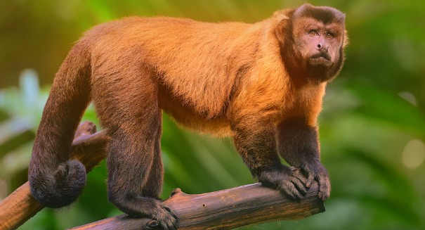 Amazing monkeys: It's not just humans that can create efficient tools
