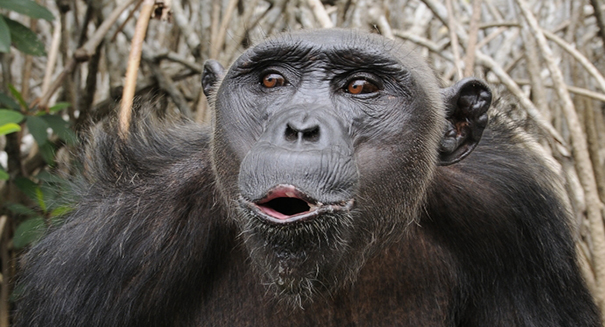 Scientists are having a huge fight over whether chimps have accents