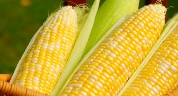 GMO crops: Danger or bad rap?