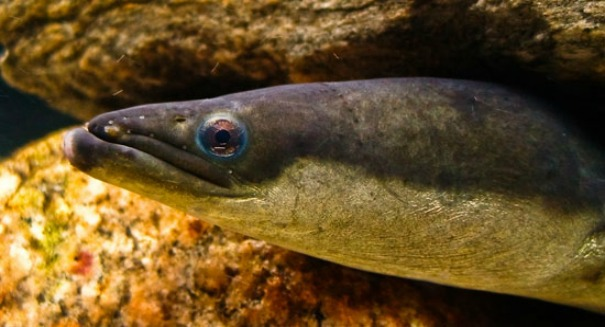 Electric eels coils up to double their shocking power (Video)