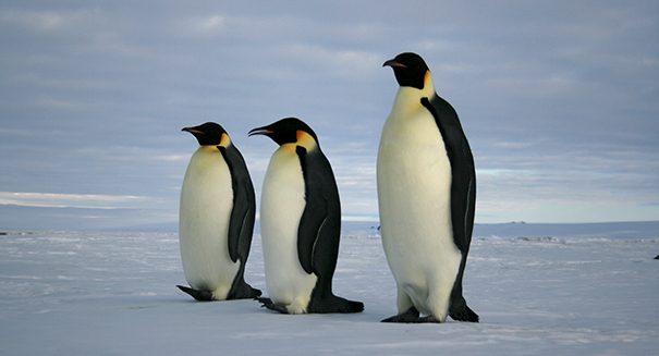 What caused 150,000 Adélie penguins to disappear?