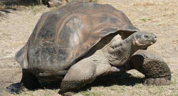 Can scientists resurrect this extinct Galapagos tortoise?