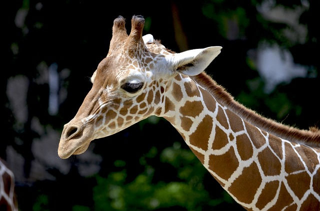 Are giraffes becoming silently extinct?