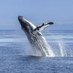 Mother nature wins: Humpback whales no longer endangered