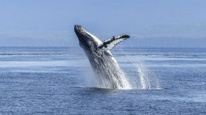 NOAA sends drones to monitor whales in Hawaii