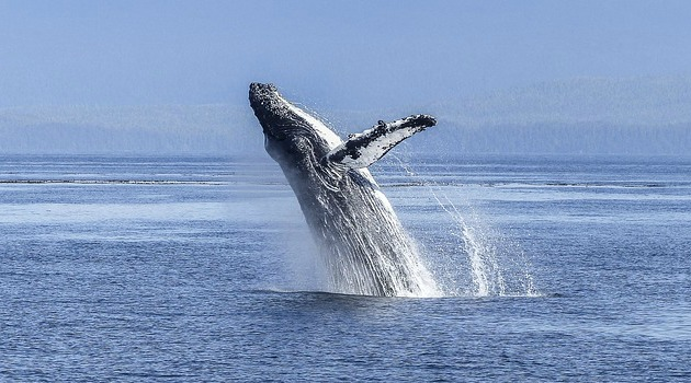 Astonishing video of humpback whale goes viral