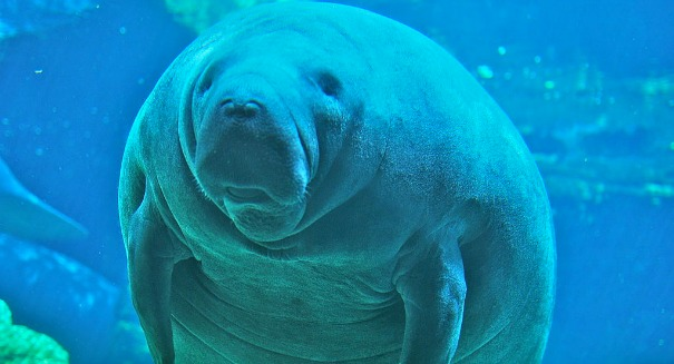 Manatees aren't endangered anymore, says FWS