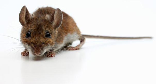 Scientists snap mice brains, making them killing machines