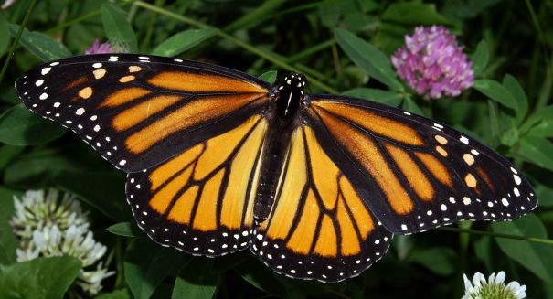 Monarch butterfly populations suffer devastating hit