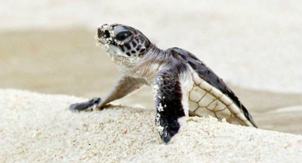 Tourists causing big problems for sea turtles in Costa Rica