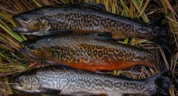 Tiger trout unleashed to topple invasive tui chub population