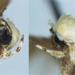 Huge discovery, tiny moth with big hair named after Trump