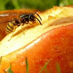 Creating a buzz: How to stop wasps invading your picnic this summer