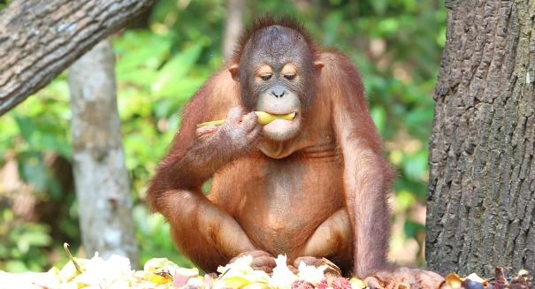 Sumatran orangutan count doubled in recent survey
