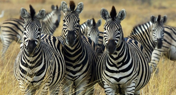 Will scientists ever know why zebras have stripes?