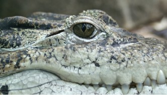 Incredible alligator discovery stuns scientists