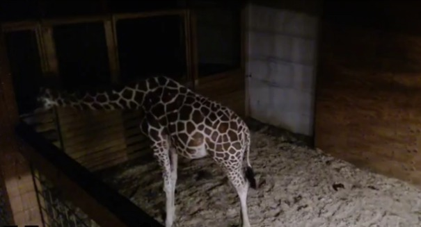'Interesting behavior' by April the giraffe alarms handlers