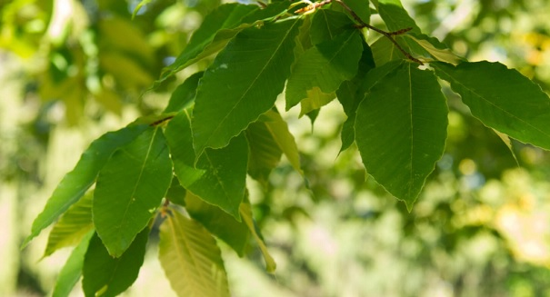 Beech Trees are booming as climate changes
