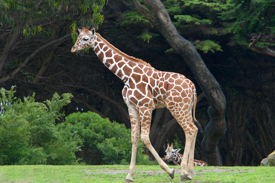 Stunning discovery leads to concerns over giraffe populations