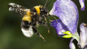 Amid mounting concerns, major pollinator declared endangered