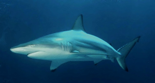 New study: Sharks have personalities just like us