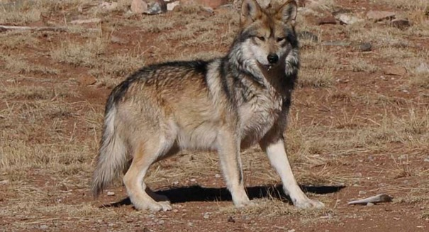 California welcomes the first wild wolves in 90 years