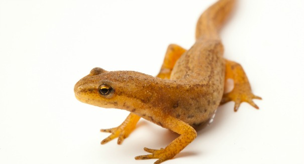 Is it too late to save American salamanders?