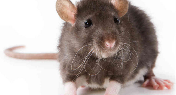 Scientists discover feelings of empathy among rodents