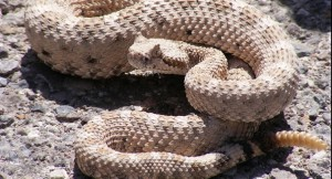 Man wrestles rattlesnake; it goes horrifically wrong