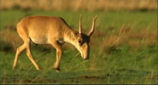 The mass death of 60,000 antelopes remains a mystery
