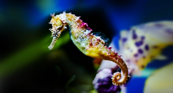 Seahorse's square tail inspires stronger, more flexible robots