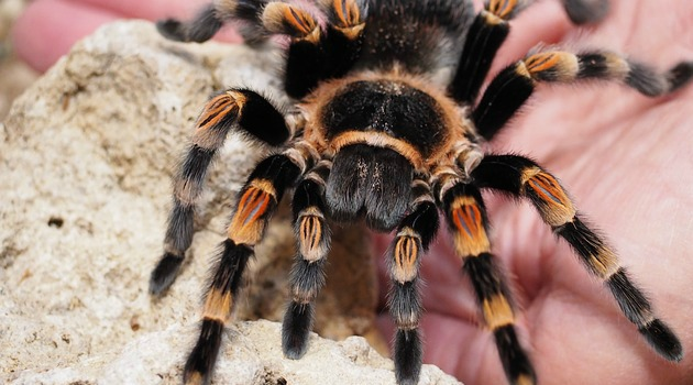 Hundreds of rare tarantula babies hatch at zoo [VIDEO]