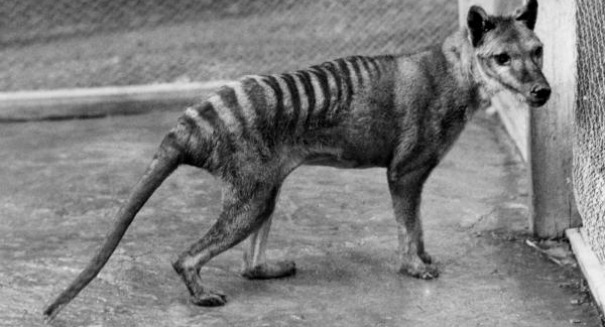 Shocking claim: The long-extinct Tasmanian Tiger has been spotted alive